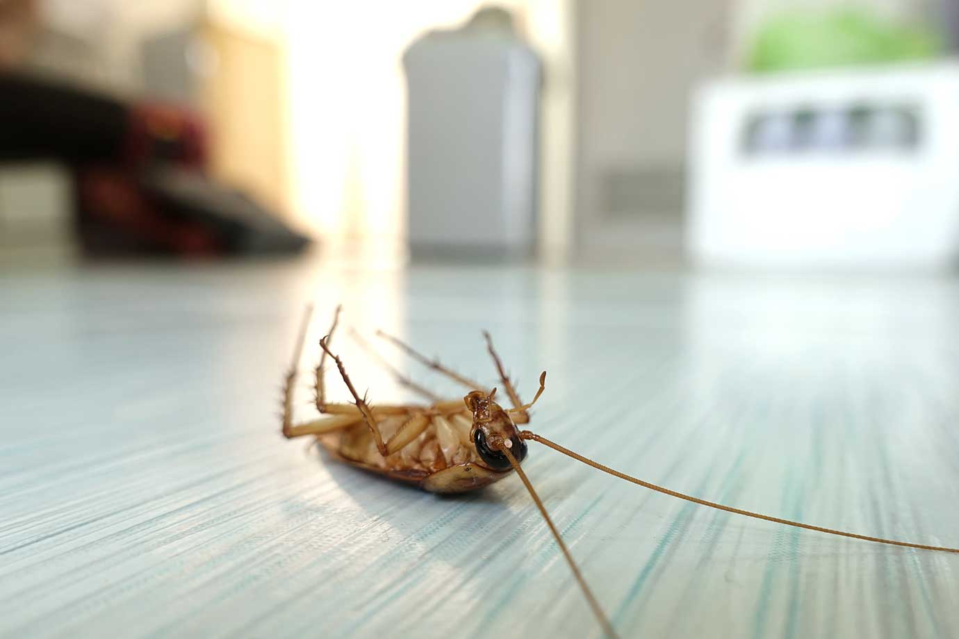 Dead Cockroach from pest control the BUTLER cleaning co Laidley Lockyer Valley